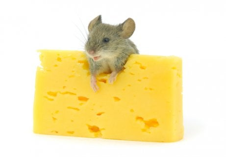 A rodent eating cheese.