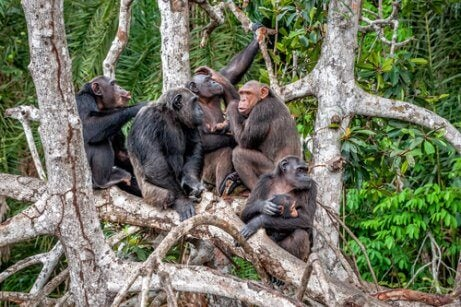A group of chimpanzees sit in a tree.