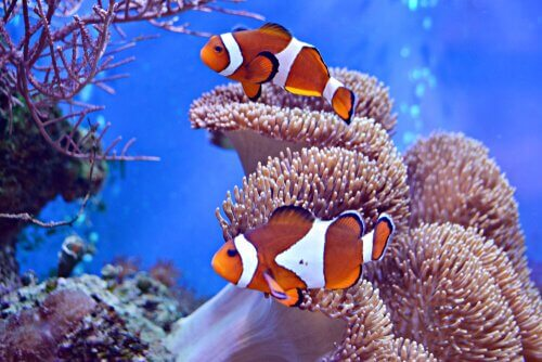 Two clownfish swimming in among anemones.