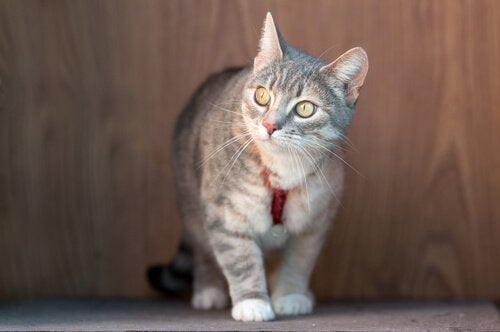 A cat with his training collar.
