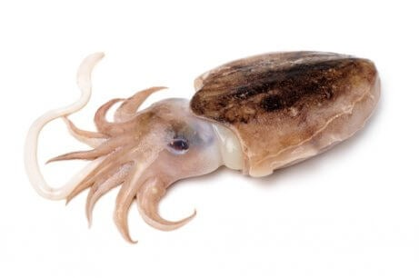 A picture of a cuttlefish.