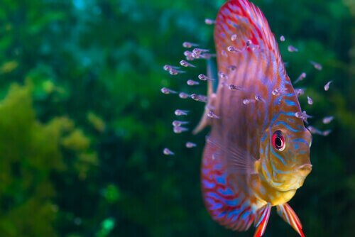 Cichlids such as discus fish are gorgeous, brightly colored fish.