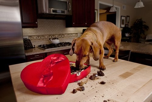A dog standing on a countertop eating from a box of chocolates, symbolizing Christmas food hazards for dogs.