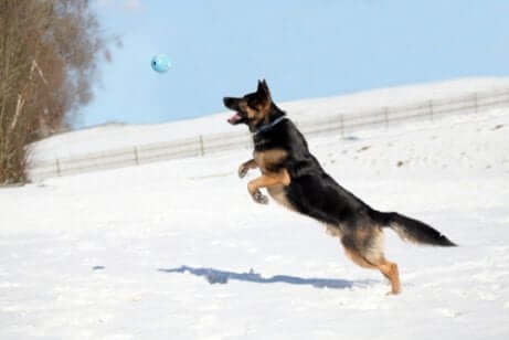 A dog jumping and playing catch in the snow.