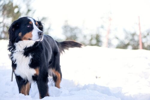 A big dog standing in a snowy field.
