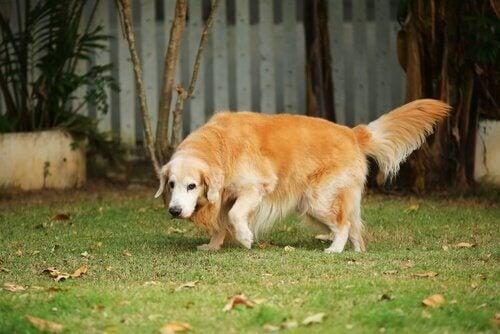 A senior dog walking in the yard.