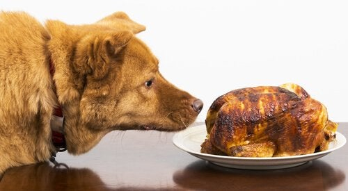 A dog is sniffing an entire cooked turkey up close.