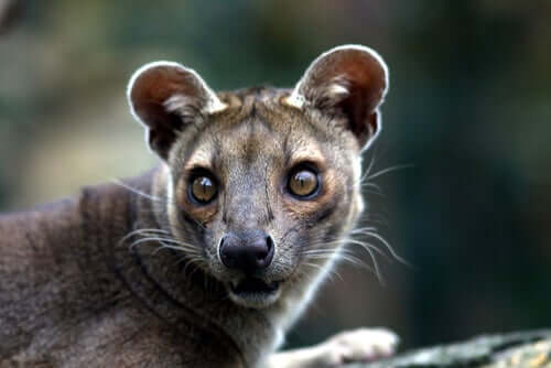 A close-up of a fossa looking at a camera.