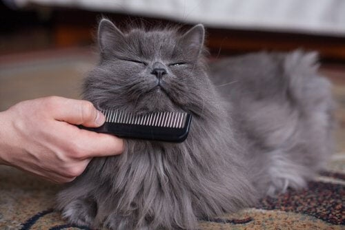 A pleased cat being brushed.