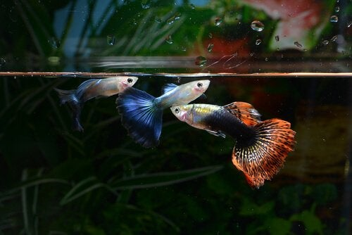 Guppies swimming in an aquarium.