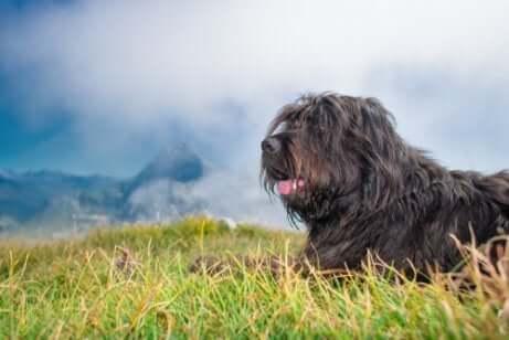 The Bergamasco Shepherd is a herding dog.
