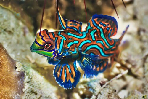 A blue mandarinfish with orange and aqua stripes.