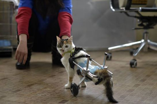 Handicapped cats being helped to walk.