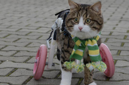 A disabled cat with her prostethic wheels.