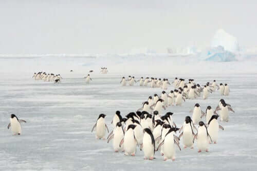 A large group of penguins migrating.