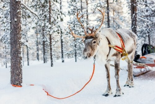 A reindeer harnessed to a sled in the snow.