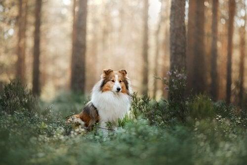 A Shetland Sheepdog sitting in a forest.