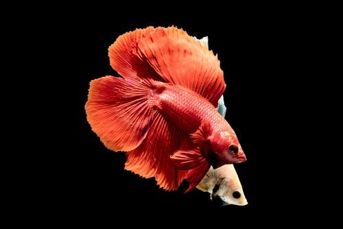 Two brightly colored Siamese fighting fish.