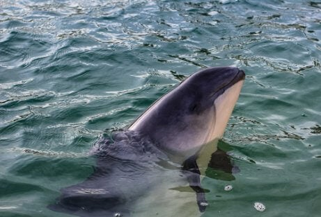 The vaquita is one species on the verge of extinction.
