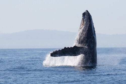 Whale Migration Routes are the Same as 270,000 Years Ago