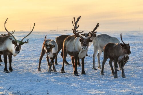 Reindeer can survive in extreme temperatures.