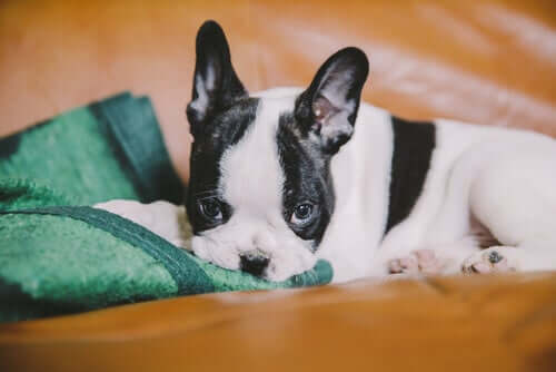 A French Bulldog puppy lying in bed.