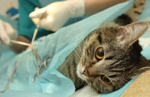 A cat getting prepped for surgery.