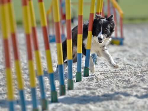 A dog going through an obstacle course.