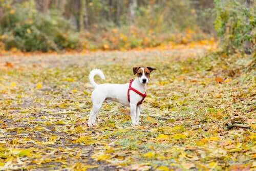 A dog standing a field of dry leaves.