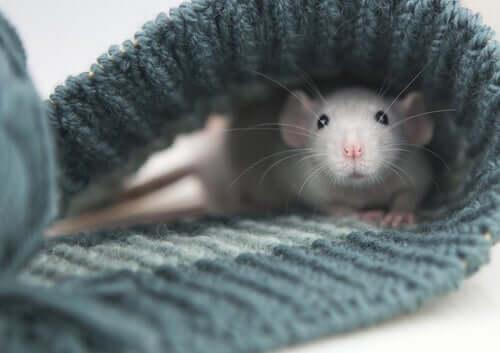 A domestic rat inside a sweater.
