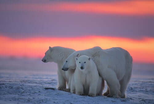 A family of polar bears.