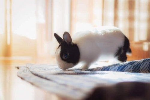 A rabbit sniffing a piece of cloth.