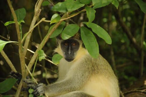 A green monkey next to a shrub.