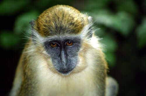 A green monkey with long eyebrows.