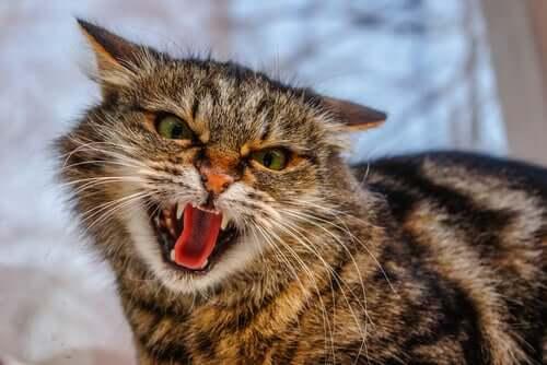 A hissing cat.