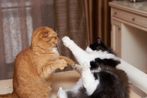 Feline behavior: A pair of boxing cats.