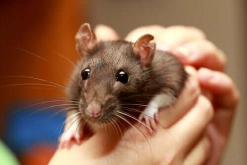 A person holding a rat between their hands.