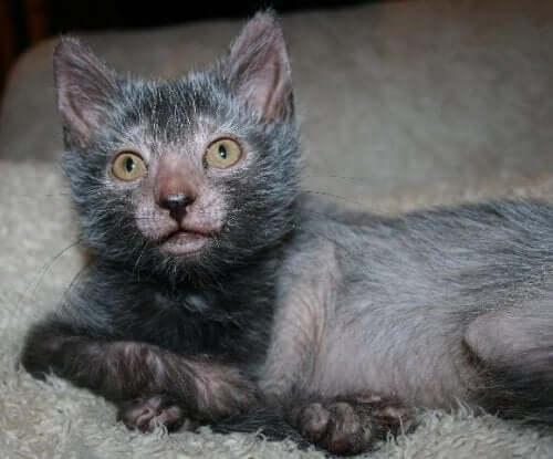 Wolf Cat: Meet the Lykoi, the New Feline Breed