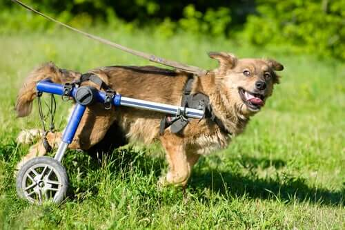 Wheelchairs for dogs can help increase mobility.