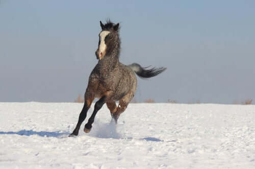 A picture of a horse running through a snowy field.