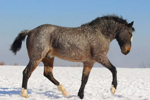 A curly horse trotting through the snow.