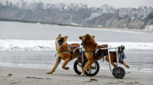 Two dogs in wheelchairs on the beach.