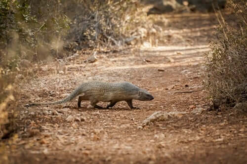 An Egyptian mongoose is walking across a path.