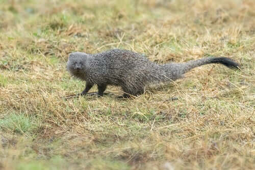 The Egyptian Mongoose: How Did It Get to Spain?