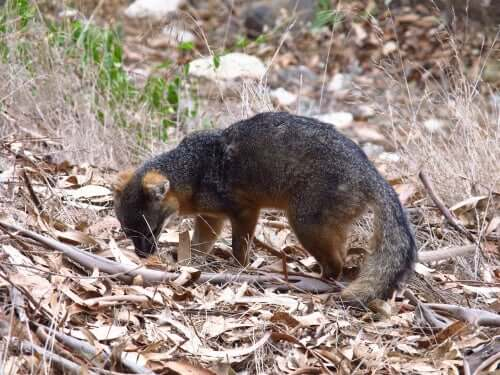 An island fox in the forest, sniffing leaves.