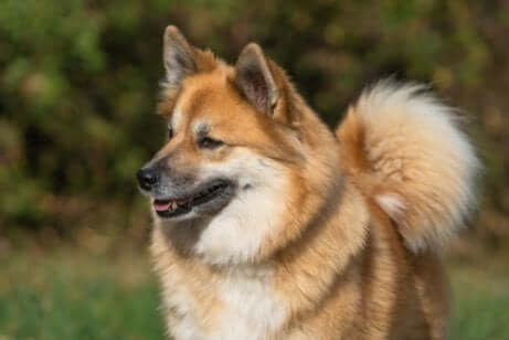 The Icelandic Sheepdog is known for its herding abilities.