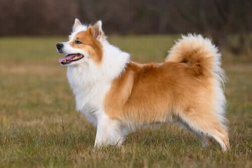 The Icelandic Sheepdog: Behavior and Characteristics