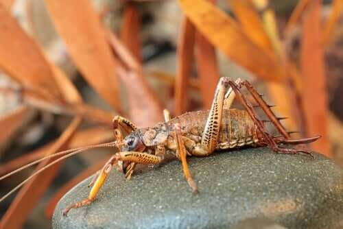A picture shows a New Zealand weta sitting on a rock.