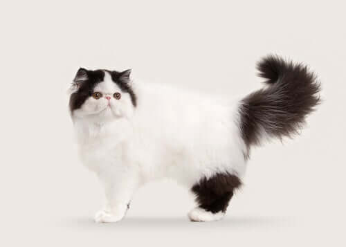 10 Semi-Longhaired and Long-Haired Cat Breeds