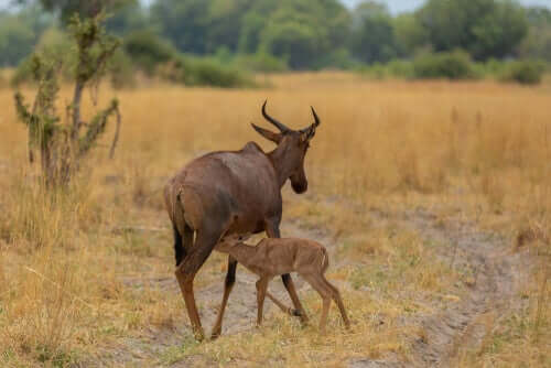 A tsessebe mother is walking while its baby nestles under it.